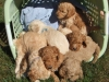 basketofpups0813